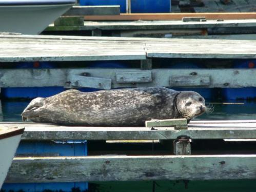Harbour seal sunning on the dock, waiting to see what D&D Fishing Charters customers caught.